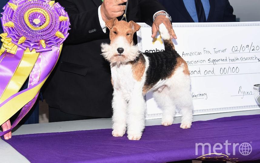 Победитель шоу - фокстерьер Кинг. Фото Getty
