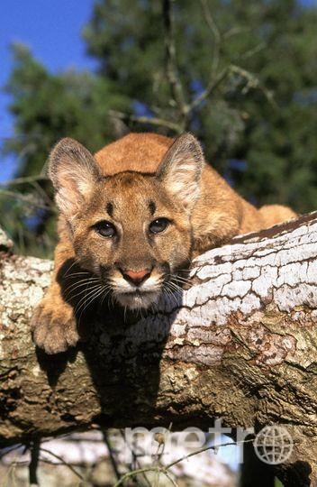 Пума (горный лев). Архивное фото. Фото Getty