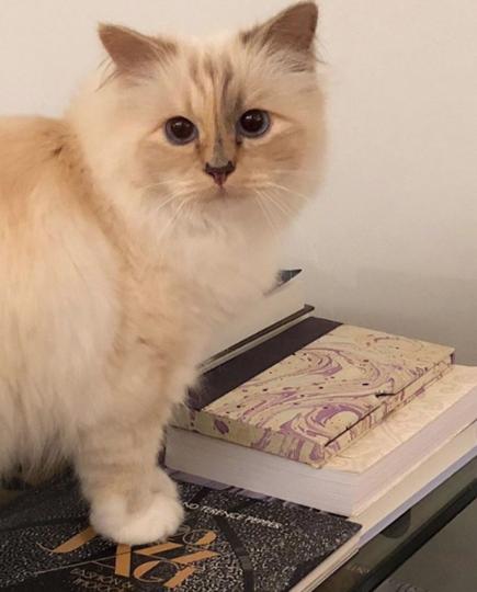 Кошка Шупетт. Фото https://www.instagram.com/karllagerfeld/