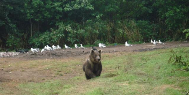 Медведь на Итурупе.