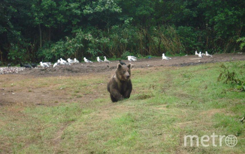 Медведь на Итурупе. Фото из личного архива семьи Прибытковых