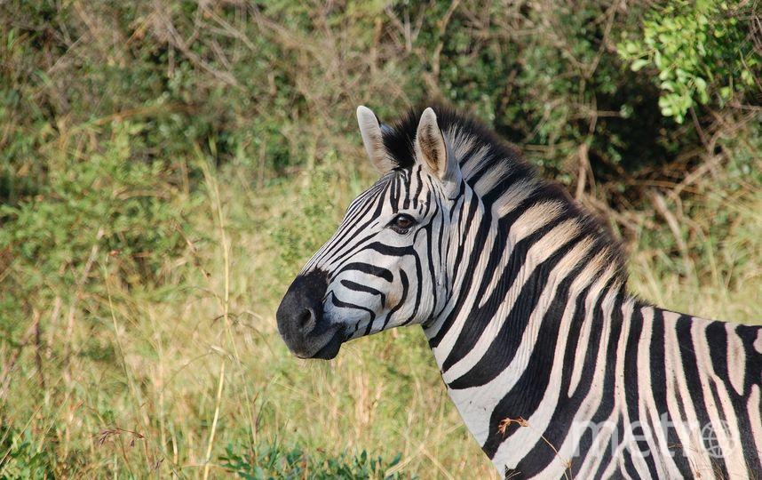 Эксперимент показал, зачем зебрам полоски. Фото Pixabay.com