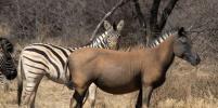 Эксперимент показал, зачем зебрам полоски
