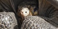 На Галапагосских островах обнаружили гигантскую черепаху, считавшуюся вымершей