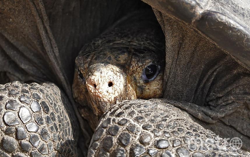 На острове Фернандина учёные обнаружили самку черепахи вида Chelonoidis Phantasticus. Фото AFP