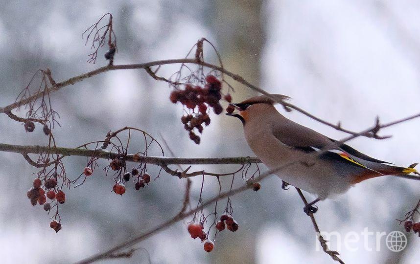 """Для свиристелей главная еда  зимой – ягоды рябины. Фото Алена Бобрович, """"Metro"""""""
