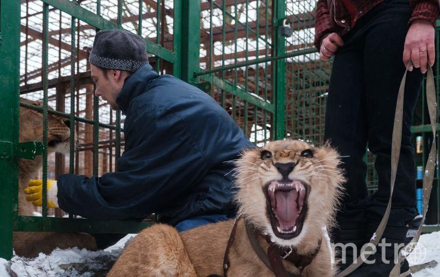 """Сейчас восьмимесячная львица отстаёт в развитии на четыре месяца. Фото Алена Бобрович, """"Metro"""""""