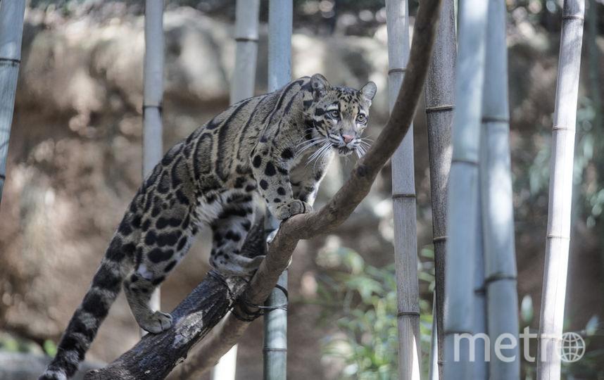 Дымчатый леопард. Фото Getty