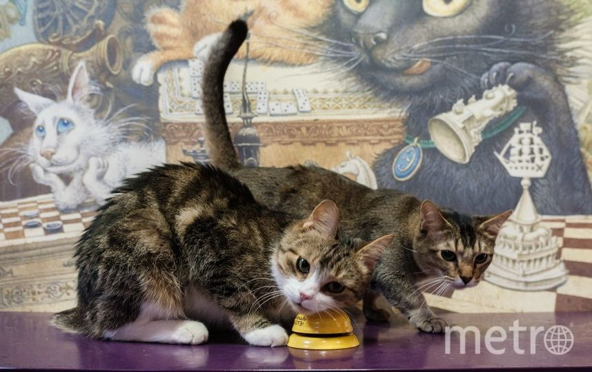 """За награду Мару готов целыми днями решать примеры. Остальным котам остаётся только завидовать. Фото Алена Бобрович, """"Metro"""""""