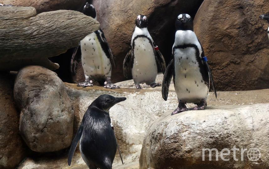 Очковые пингвины. Фото Getty