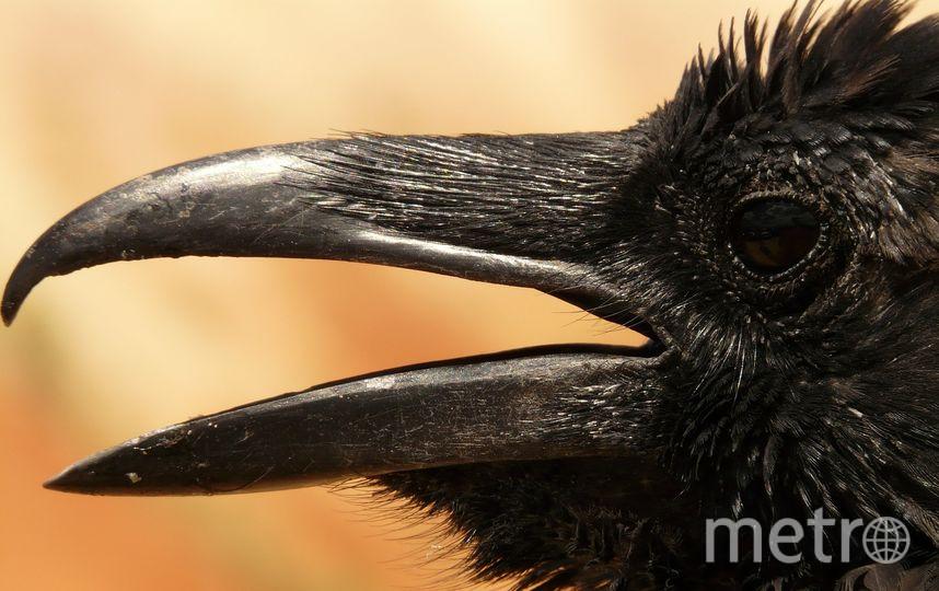 Наиболее агрессивными вороны бывают весной и ранним летом. Фото Pixabay