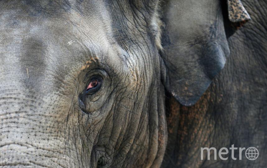 В неволе индийские слоны способны дожить до 80 лет. Фото Getty