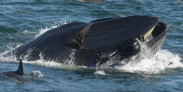У побережья ЮАР кит едва не проглотил дайвера.