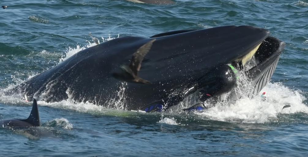 У побережья ЮАР кит едва не проглотил дайвера. Фото Скриншот, Скриншот Youtube