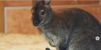 Забавное видео: Кенгурёнок в Ленинградском зоопарке впервые вышел погулять