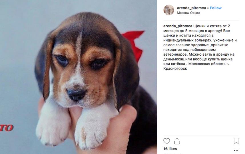 1500 рублей стоит аренда котёнка на сутки. Фото Скриншот https://www.instagram.com/arenda_pitomca/