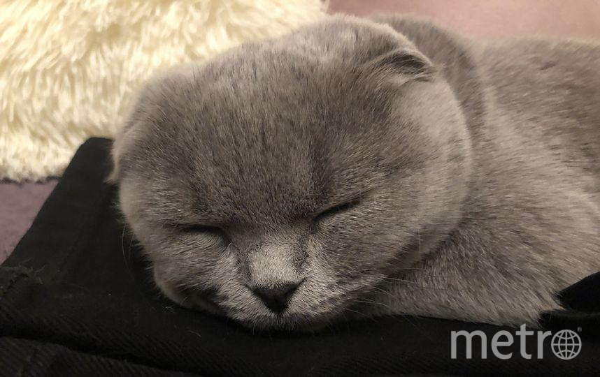 Меня зовут Михаил Клещёв, высылаю вам фото моей спящей шотландской кошки Герды. Фото Михаил Клещёв.