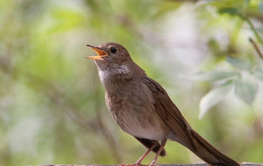 Обыкновенный соловей. Фото предоставлено Союзом охраны птиц России