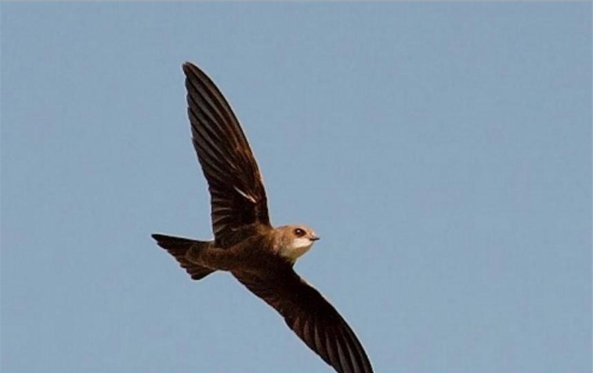 Чёрный стриж. Фото предоставлено Союзом охраны птиц России