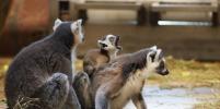 Для забавного детёныша лемура в Ленинградском зоопарке выбрали имя (видео)