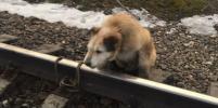 В Ленобласти машинист остановил поезд, чтобы отвязать собаку от рельс