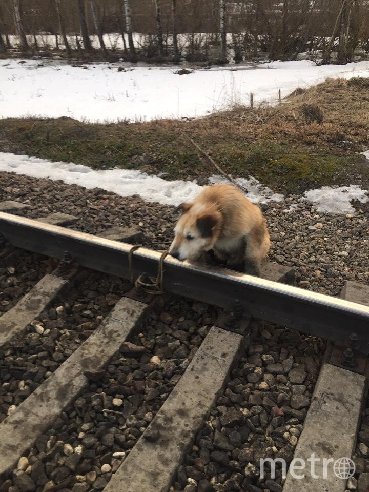 В Ленобласти машинист остановил поезд, чтобы отвязать собаку от рельс. Фото club175336494, vk.com