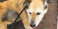 Хозяин отказался от пса, спасённого на железной дороге
