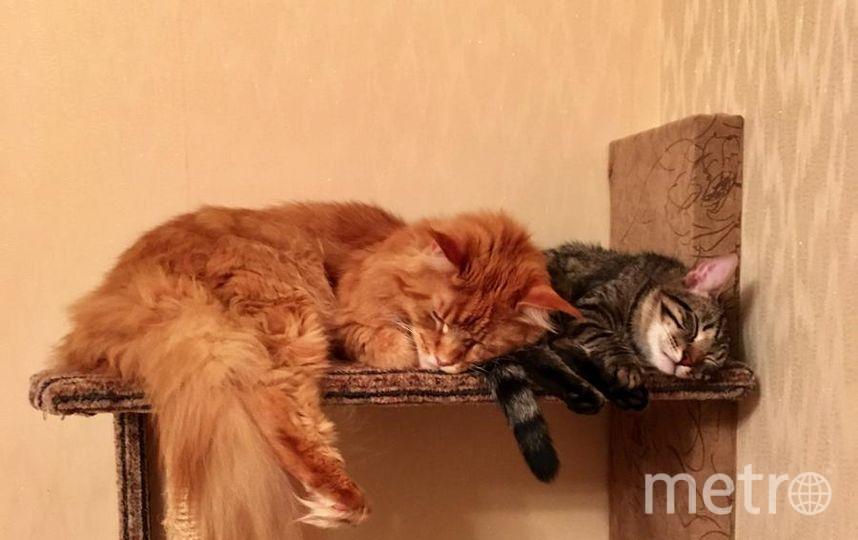 """У нас в семье 2 кота. Рыжего мейн-куна Лучика приобрели 3 года назад. Полосатого котика Веньчика взяли год назад в приюте. Теперь они самые забавные и дружные.. Фото Татьяна Ладанова, """"Metro"""""""