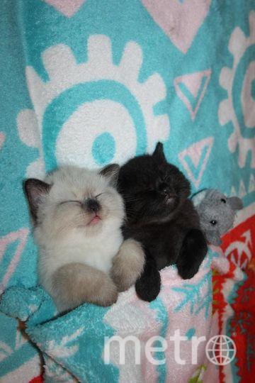 """Главная наша любимица - британская кошка Алиса. Она - мать-героиня, произвела на этот свет 12 котят! Во втором помёте было три котёнка - все мальчики, с разными окрасами: шоколадный (на большинстве фото он получается чёрным), колор-поинт (его путают с сиамской породой) и табби. На фото котятам тут всего 3 недели. Фото """"Metro"""""""
