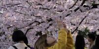 В Японии цветёт сакура: самые красивые фото