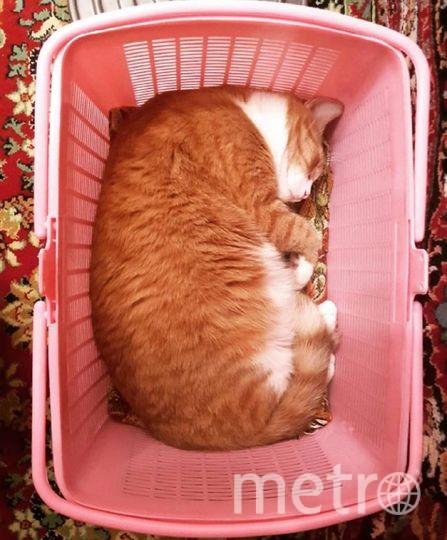 """Нашего кота зовут Марсик, но за своенравный, властный характер мы чаще зовём его Марс. Говорят: """"Кот- это жидкость"""", как помещаются 8 кг спящего котика в переноску для котёнка смотрите на фото!. Фото Майя Талызина, """"Metro"""""""
