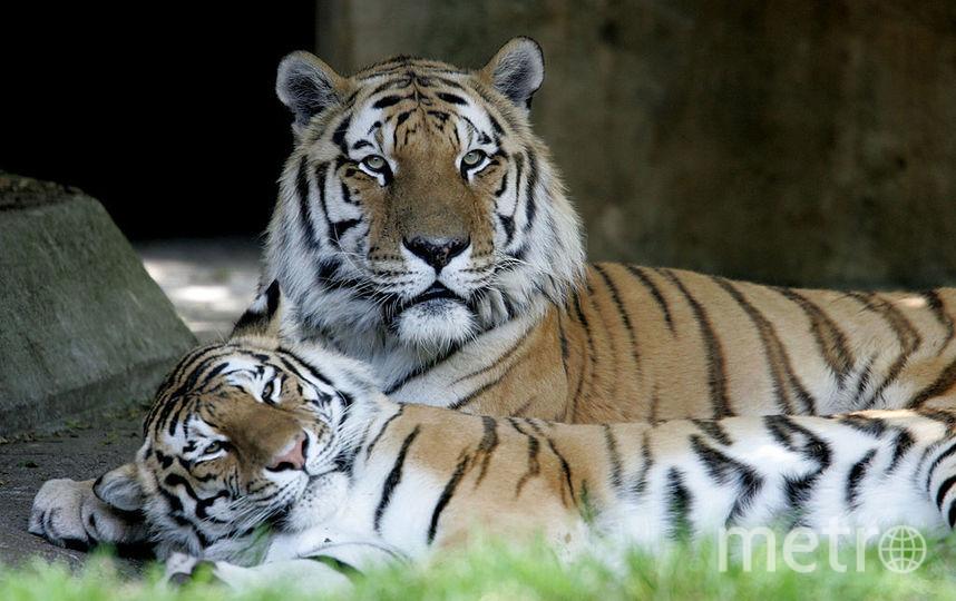Амурские тигры. Фото Getty