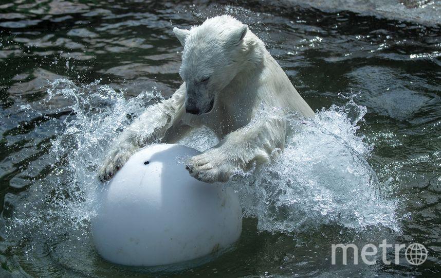 Посмотреть на белых мишек в Зоопитомнике теперь может каждый. Фото Предоставлено пресс-службой московского зоопарка