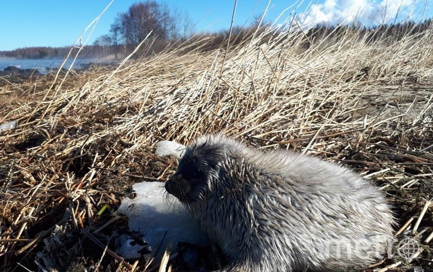 Балтийская нерпулина. Фото sealrescue, vk.com