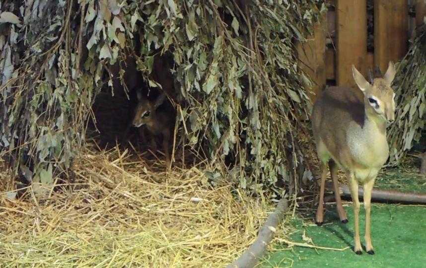 Дикдик родился меньше двух недель назад. Фото предоставлено пресс-службой Московского зоопарка, Предоставлено организаторами