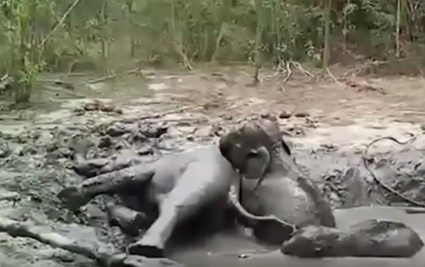 Кадры спасения слонят из глубокой ямы с грязью. Фото скриншот youtube.com/watch?v=yBUHmpts5lc