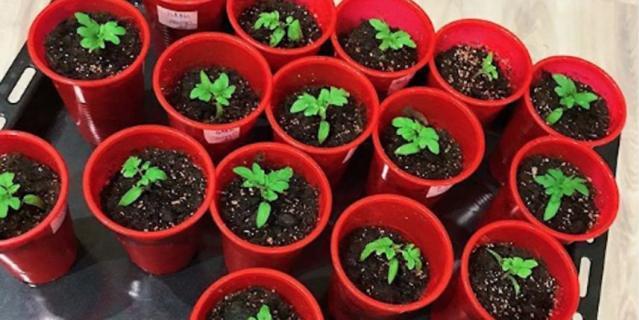 Дачница markiza_kapriza занимается пикировкой томатов.