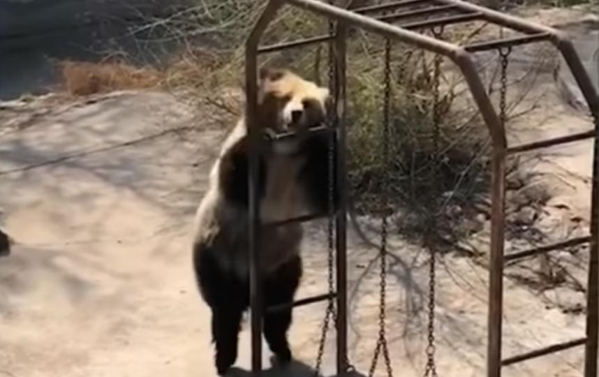 Танцующая медведица. Фото Скриншот/The AIO Entertainment, Скриншот Youtube