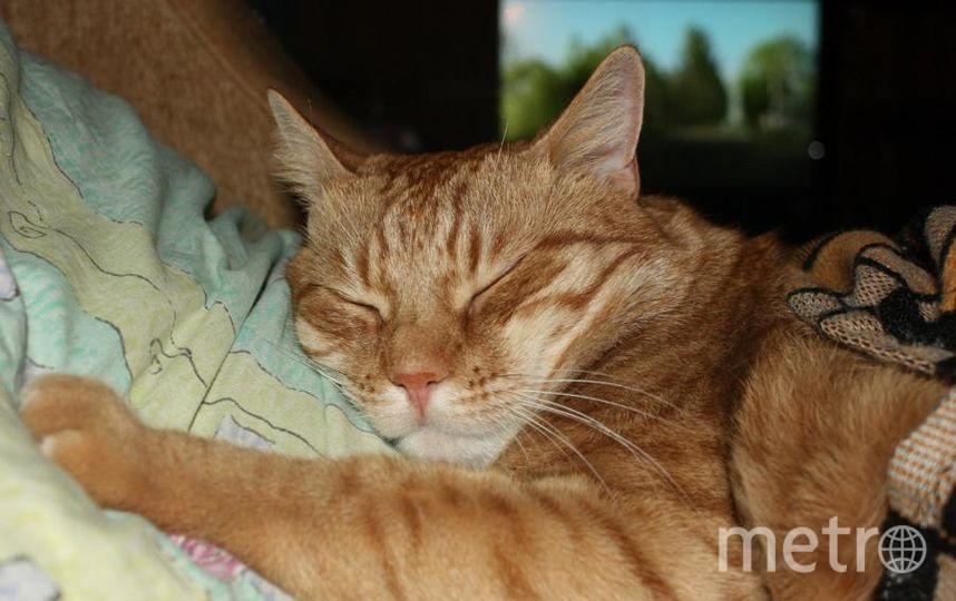 """Кот Антон. Рыжий баловень. Настолько мамин любимчик, что она позволяет ему спать у себя мордочкой на подушке, укрыв его одеялом.. Фото """"Metro"""""""