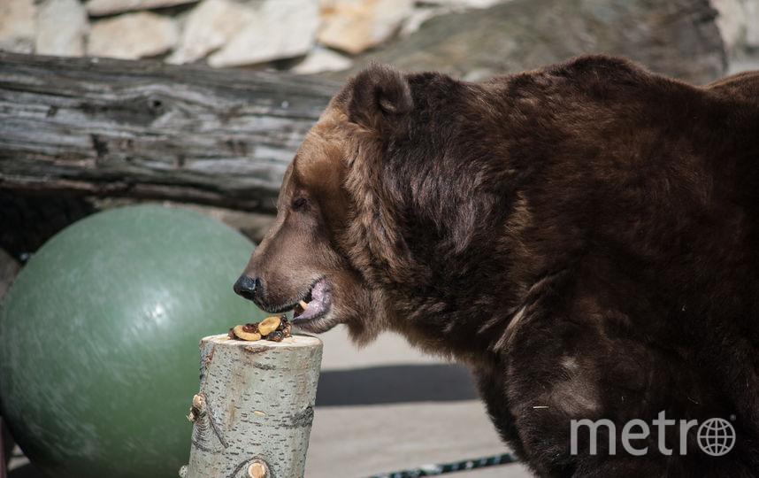 Медведица Роза с удовольствием лакомится фруктами после долгого зимнего сна. Фото Игорь Генералов