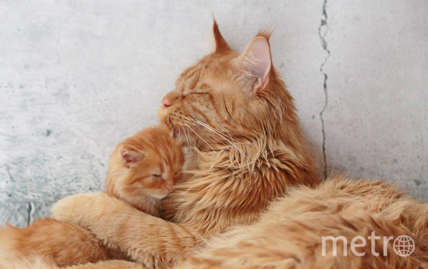 Мой кот мейн-кун Леопольд и его, еще совсем маленький сынок безмятежно спят. Фото Ольга