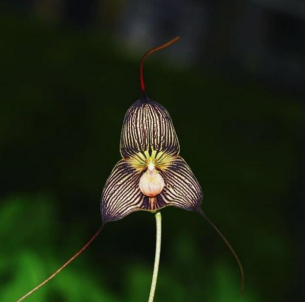 Редкая орхидея-вампир из Эквадора. Фото Скриншот instagram.com/hortus_ru/