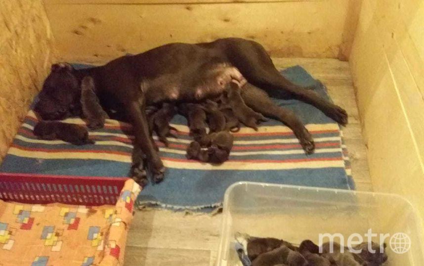 Кира и её рекордные щенки. Фото предоставил Альберт Мухомедеев