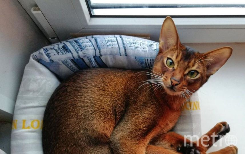 """Котик вырос, а привычки остались. Абиссинский кот Марчи. Фото Андрей, """"Metro"""""""