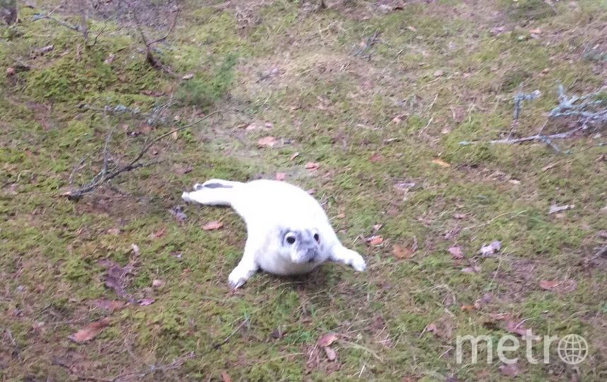 "Тюлень пополз в лес от берега. Фото https://vk.com/sealrescue, ""Metro"""
