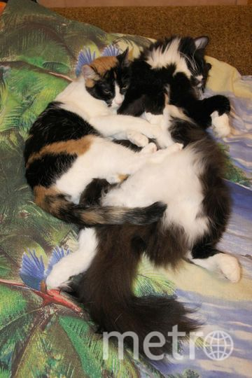 "Кошка Соня обнимает спящего кота Мёбика (Мёбиуса). Фото Дмитрий Винокуров, ""Metro"""