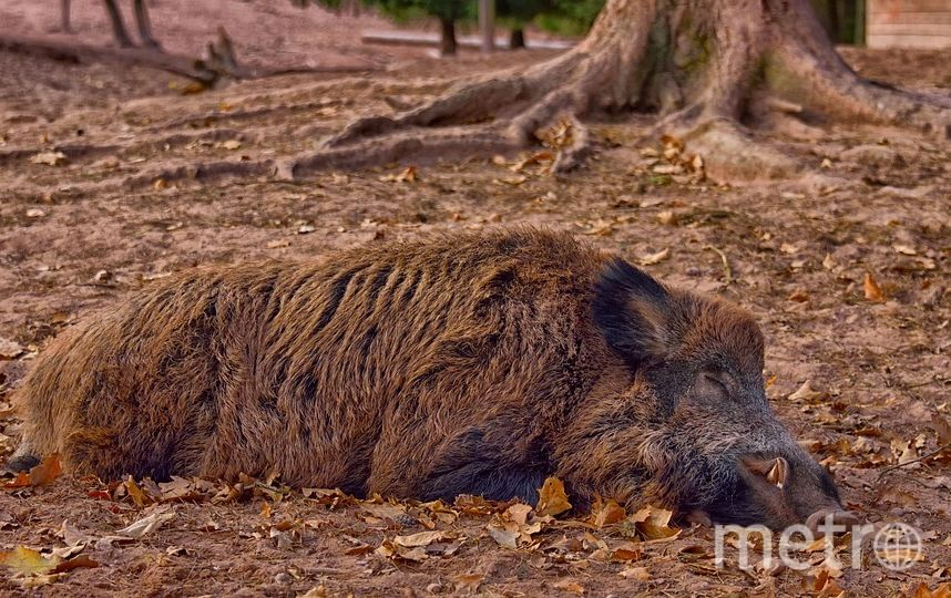 "Охота на кабанов в лесах Ленобласти сейчас запрещена. Фото https://pixabay.com, ""Metro"""