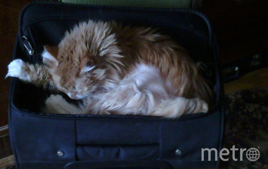 """Моя кошка Масяня, каждый раз,когда я достаю чемодан, чтобы собираться в командировку,  укладывается в него и делает вид,что спит. Наверное, хочет сказать: """"Я с тобой или ты остаёшься дома"""". Фото Витольд Сёмаш."""