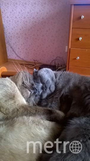 Счастливая сладкая парочка спит после сытного обеда. (коричневый мальчик Евро, серая девочка Мишель. Фото Надежда Канкишева.