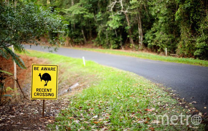 Казуары считаются самой опасной птицей в мире. Фото Getty